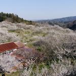 最も多くの梅が残る天神梅林。烏梅用の在来種は白花・遅咲きだった。左上に真福寺の甍が見える。
