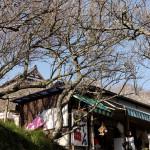 梅と土産物屋越しに真福寺を見上げる。